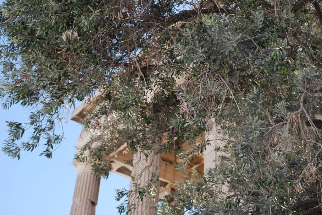 Kalamata Olive Tree in Greece