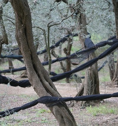 Italian Olive Trees with Netting